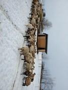 Ewes in drylot during non graze season