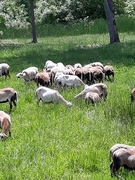 Ewes grazing spring grass