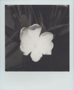 Tulipani #3
