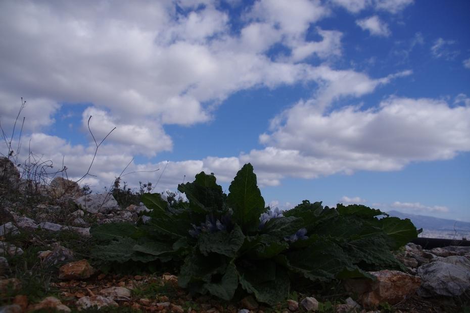 Ένας Μανδραγόρας (Mandragora officinarum)...