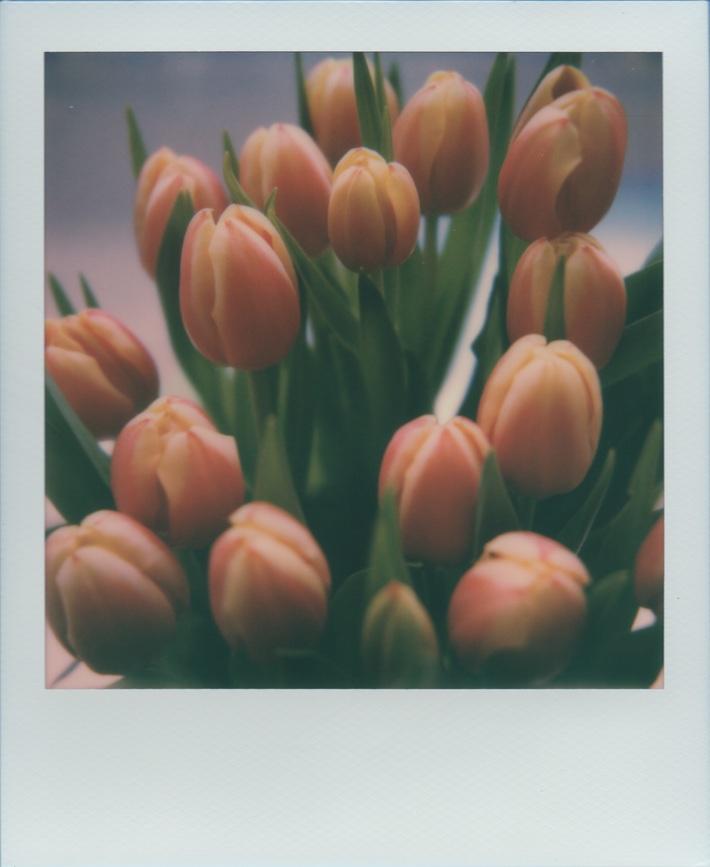 Tulipani (Before)