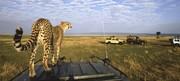 Cheetah at a vantage point masai-mara-game-reserve