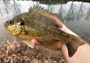9'' Redear Sunfish (3-26-20)