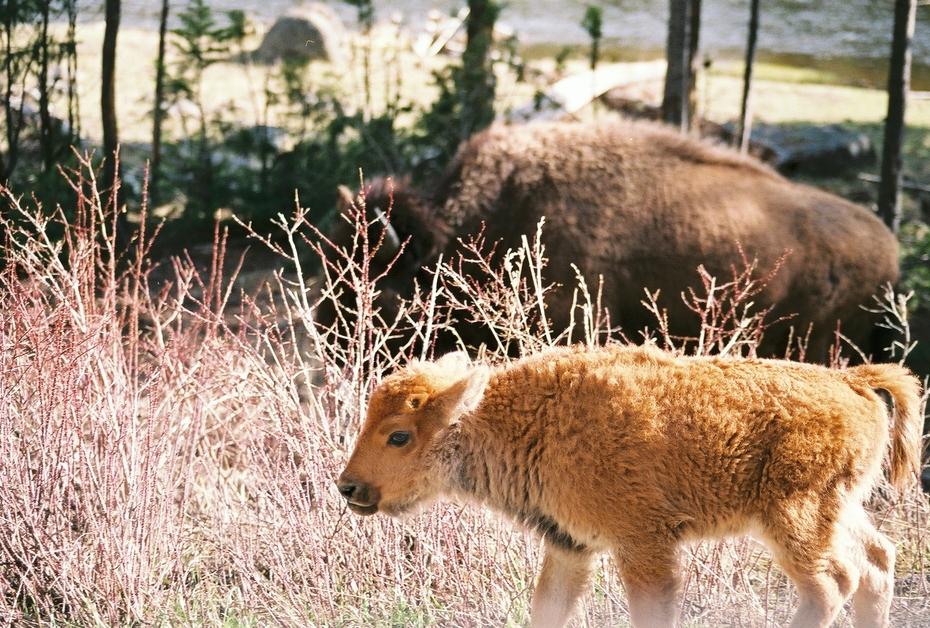 Bison Mama and Calf