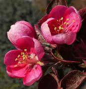 """""""fiori di melo"""""""