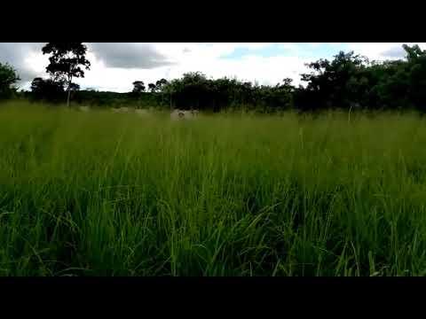 Ganho de peso animal em Sistema ILPF - Alagoinha- PB