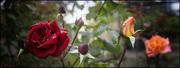 Τριαντάφυλλα από την αυλή μου