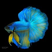 Blue-Yellow Betta Fish in Black Backgroun by…