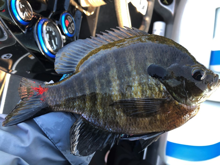 Solid Banded Gill........5/24/2020
