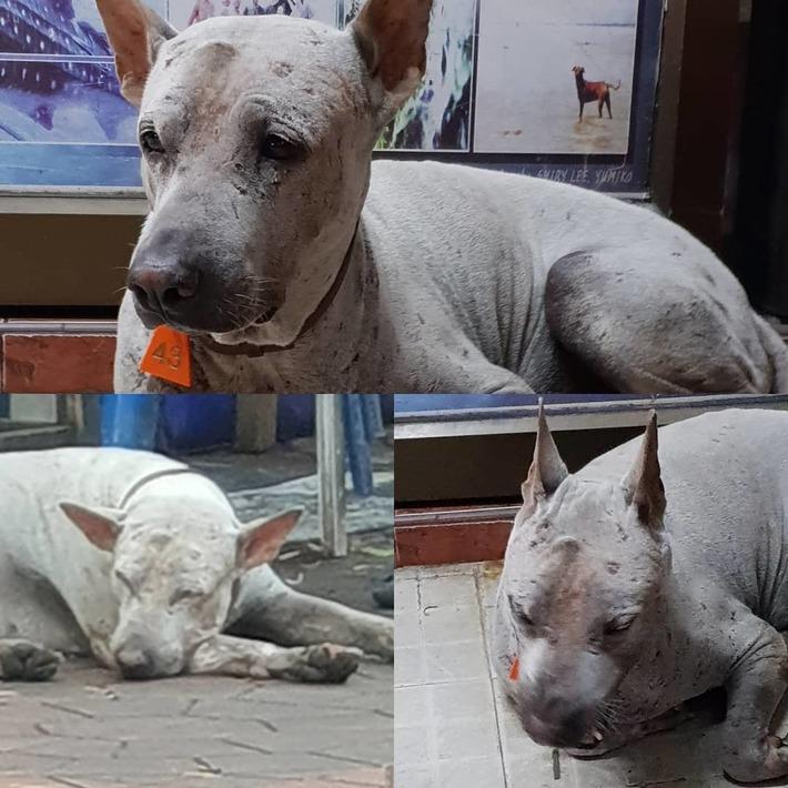 Bangkok Street Dog