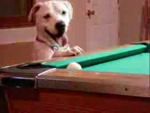Cachorro que joga sinuca