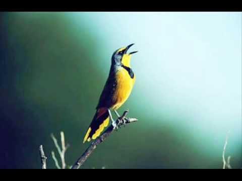 Sons da Natureza: Pássaros