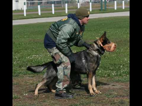 Police K9 apprehension training and pictures