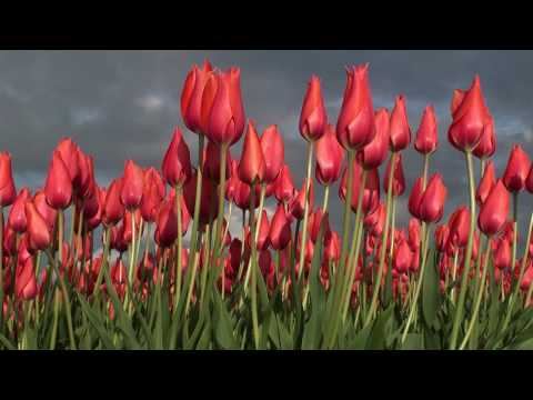 Tulips fields, Voorhout, The Netherlands, HD 1080p