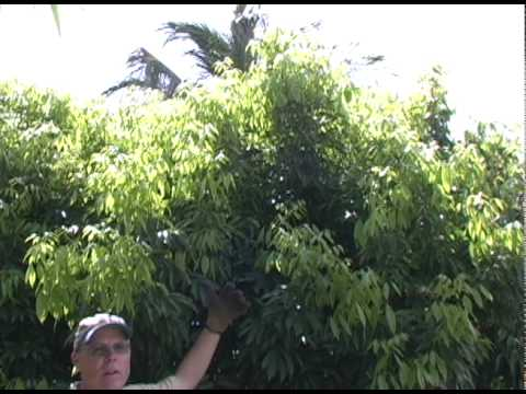 A09 Pruning a lychee tree