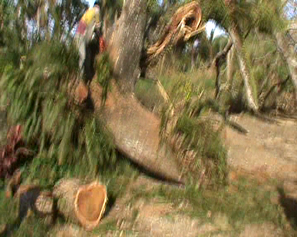 Cutting down the old Rain Tree at SDA settlement Nuku Rabi