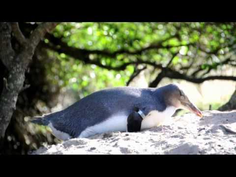 Yellow-Eyed Penguins at Penguin Place Dunedin New Zealand