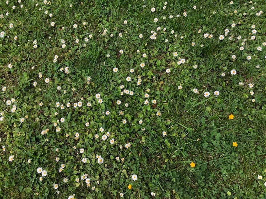Dans la pelouse scintillante de pâquerettes