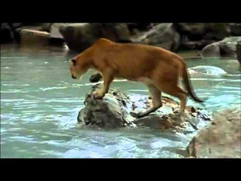 ||| Eyekonn.com - Brave Bear Cub Against Cougar |||
