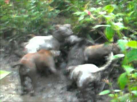 okolehau boar