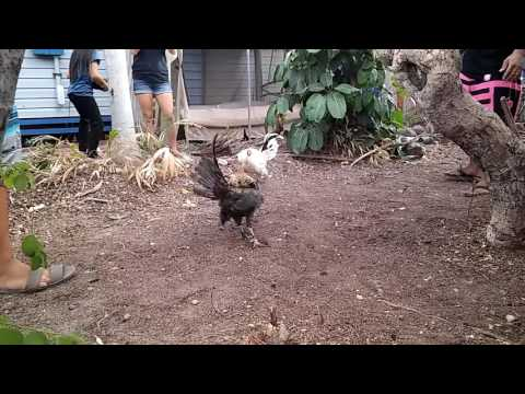 chicken fights dis morning