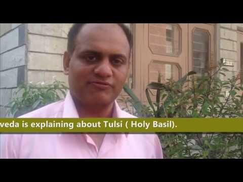 Tulsi Benefits and uses- Tulasi- The holy basil