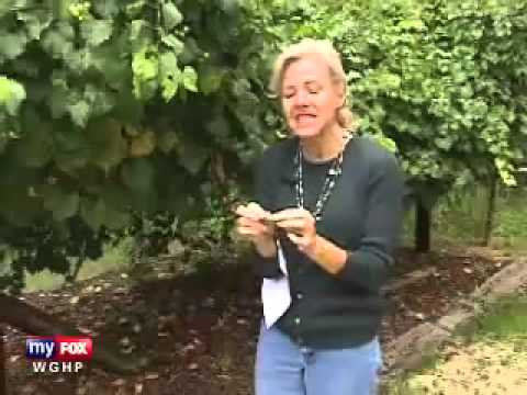 The Power of Muscadine Grapes