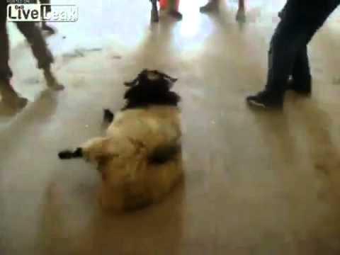 NEW!!! TERRORIST USA ARMY KILLED A SHEEP WITH A BASEBALL BAT