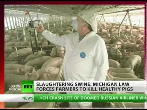 Piggycide? Farmers Considered Felons in Michigan, Forced to Mass Slaughter their Healthy Pigs
