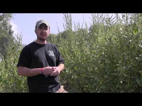 Wild Edible and Medicinal Plants Series- Amaranth 2
