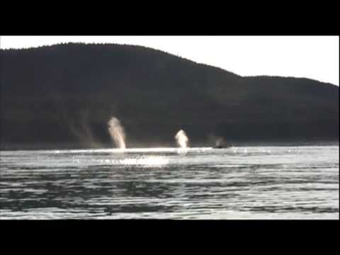 Humpback Whales & Orca narrated by Kathy Slamp