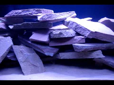 29 Gallon Mbuna Cichlid Tank - Adding First Batch