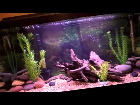 30 Gallon Tropical Fish Tank Update (Spotted African Leaf Fish)