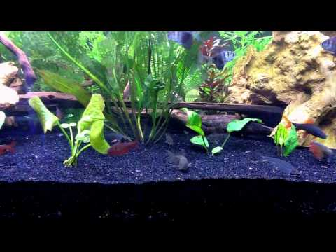 My glass catfish and others feeding