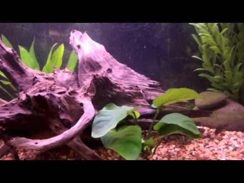 30 Gallon Freshwater Tank Update (Anubias & Cherry Barbs)