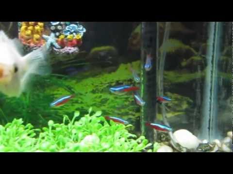 Neon Tetra Pregnant and Update