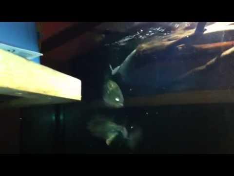 piranha feeding