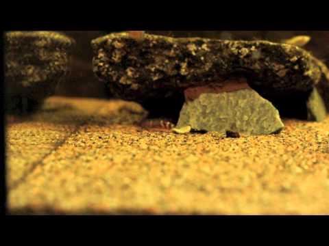 Coolie loach feeding time - X4 (Pangio kuhlii)