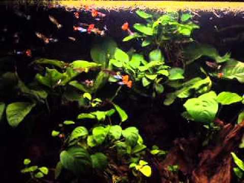 Guppy tank with anubias