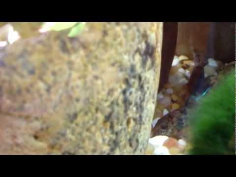 Cory Catfish feeding