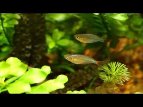These rainbowfish are maturing quickly
