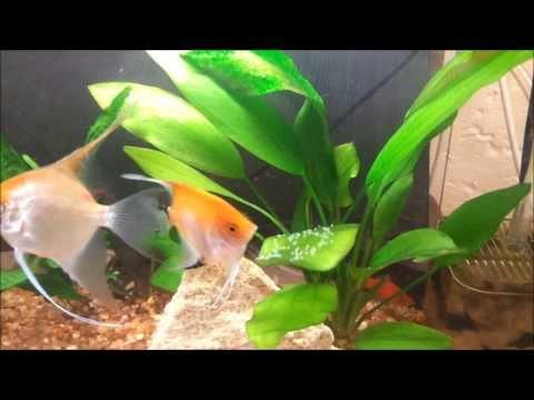 Angelfish breeding (Laying eggs)
