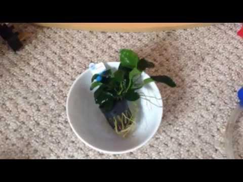 Plant info and give away: Anubias Nana