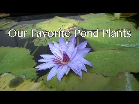 Our Favorite Pond Plants