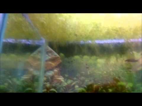 Inpaichthys kerri spawning in community tank