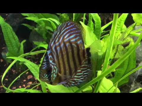 Red Turquoise Discus (Symphysodon sp.) fish freshwater (Music)