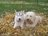 Goldendoodle Acres - Wisconsin - DoodleKisses com