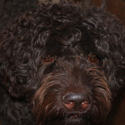 Barb @ Gemstone Labradoodles