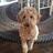 Goldendoodle Acres - Wisconsin - DoodleKisses com