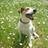 Belmont Terrier